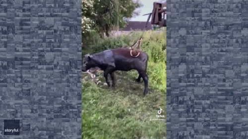 Farmers Using Clamp to Save Cow Stuck in Hole Becomes TikTok Hit