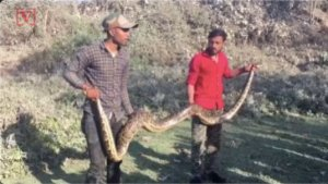 A 13-Foot Python is Rescued From an Industrial Pipe in Eastern India