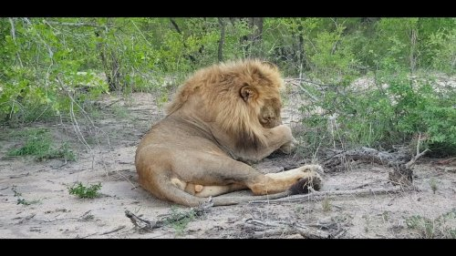 King of the Jungle Grooms Self