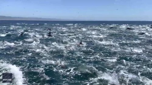 'Super Pod' of Dolphins Race Through the Water Off Dana Point, California