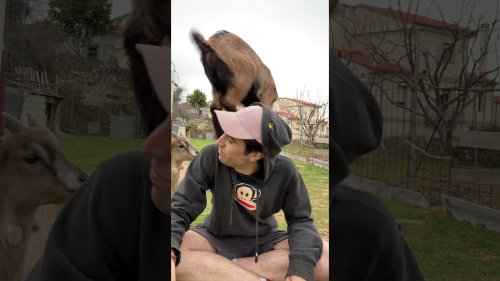 Baby Goats Jump On Guy's Back