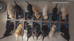 14 Puppies! One of the Biggest Litters of Puppies in History!