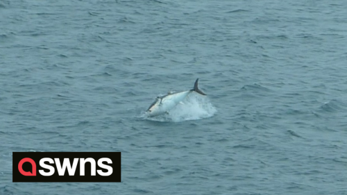 ''World's most expensive fish'' worth MILLIONS spotted in St Ives, UK