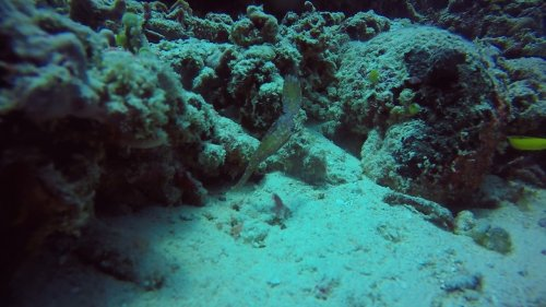 Rare encounter with ghost pipefish