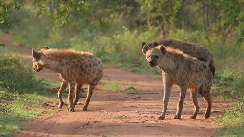 Wildlife Filmer Encounters Hyena Pack