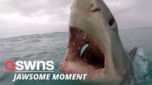 Real-life 'Jaws' moment as majestic great white shark bears its TEETH at a boat