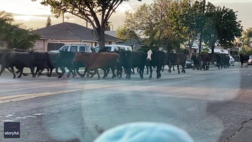 Dozens of Cows Run Loose Through Los Angeles Area After Escaping Slaughterhouse
