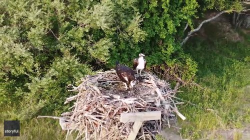 Long Island Drone Footage Shows Osprey Family Sharing a Meal