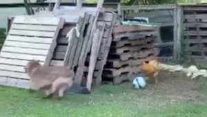 A Chicken and a Dog Chase Each Other Around Is Must-See Video!