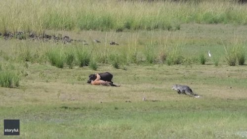 Food Fight: Sneaky Croc Wants a Piece of Tiger's Catch