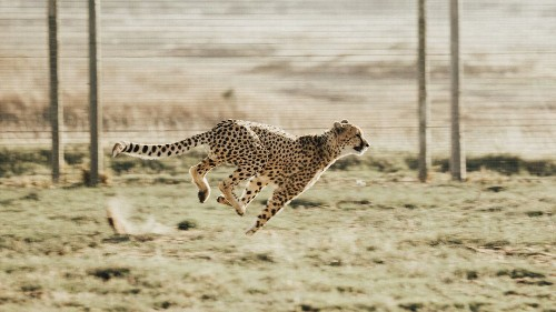 How to Survive a Cheetah Attack