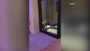 Ding-Dong Dogs! Two Dogs Alert Their Owners They Want to be Let In by Ringing Doorbell!