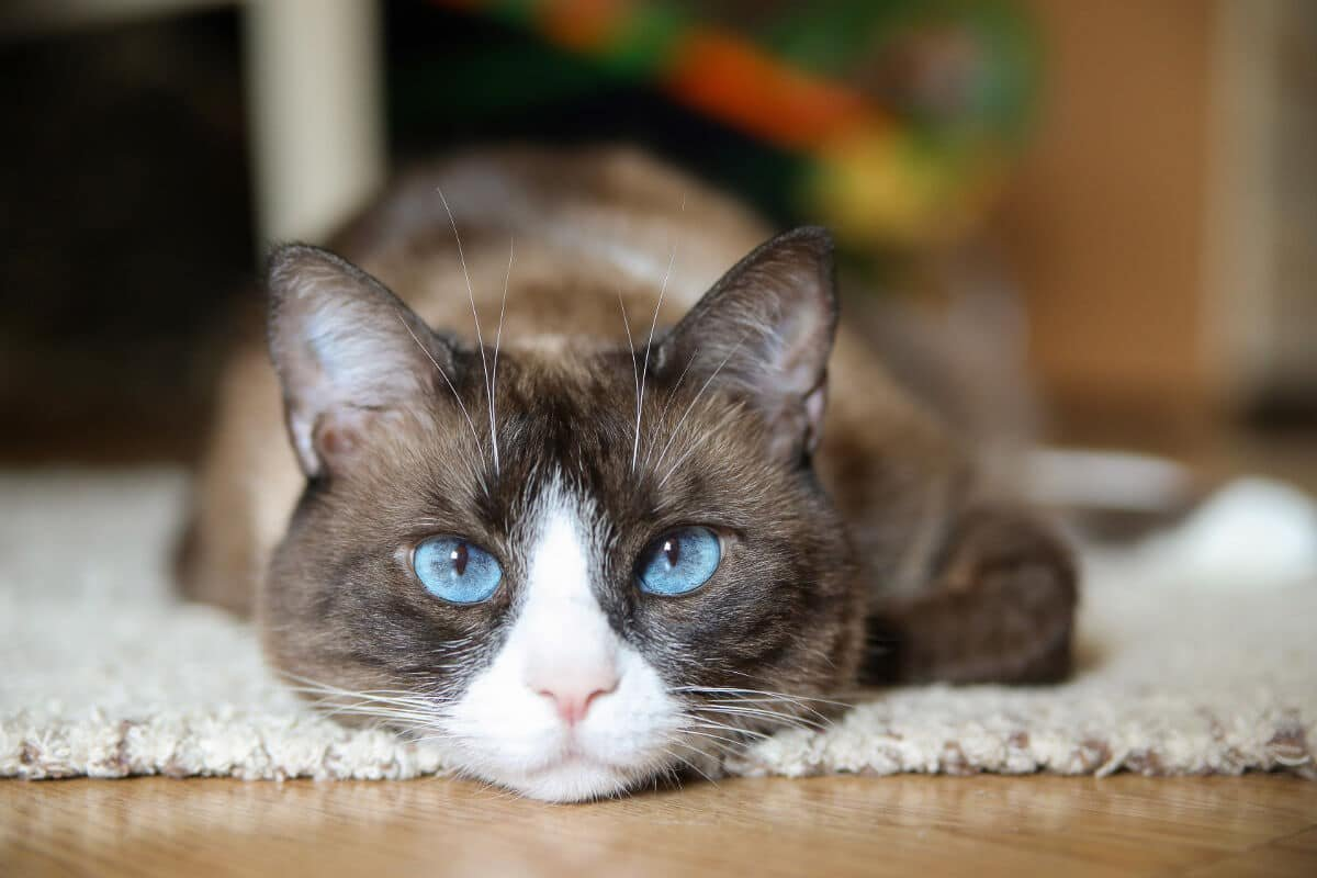 11 Cat Breeds with Blue Eyes