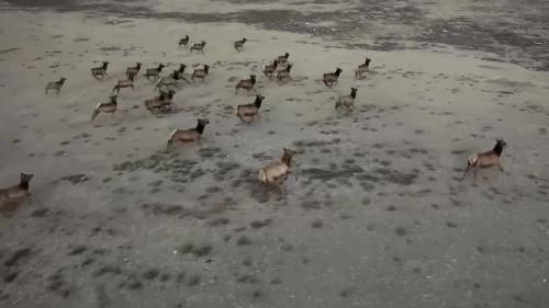 Aerial survey captures herd of elk in U.S.