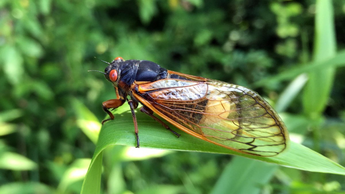 A Fungus Is Causing Cicadas to Have Too Much Sex