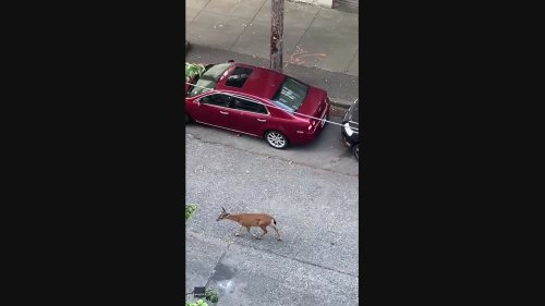 'A Very Long Way From Home': Deer Wanders Down 'Industrial' Street in Vancouver