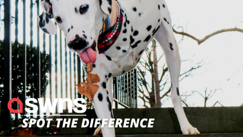 Abandoned Dalmatian puppy with THREE LEGS is rescued from destruction in US - RAW