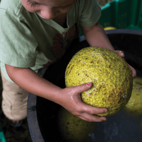 How This Hawaiian Fruit Tree Could Save Our Food Crisis
