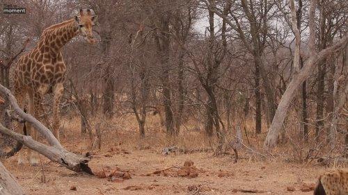 Giraffe reaction as hyenas scavenge on dead kin
