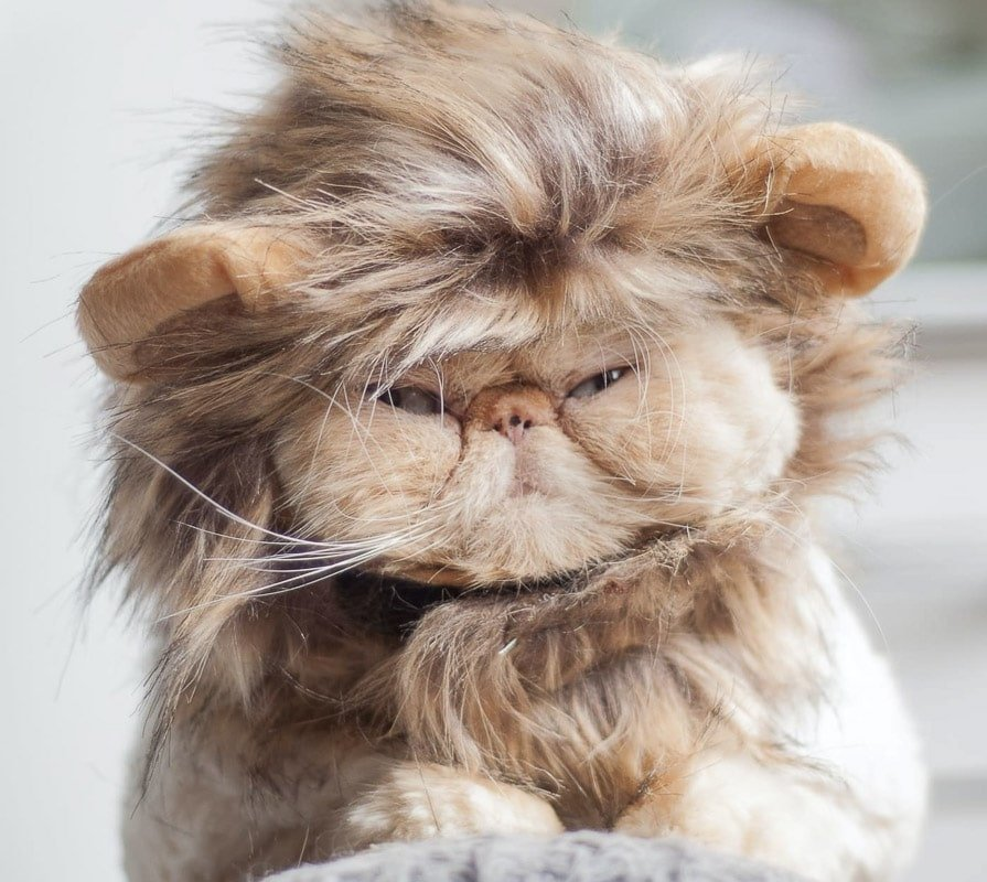 10 Best Flat Faced Cat Breeds in the World + More Fun Cat Breeds