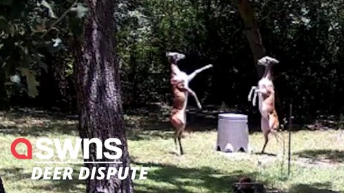 Watch these two deers engage in the most elegant 'girl fight' in Austin, Texas