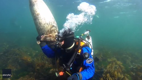 Playful Seal Gets Acquainted With Diver Off Coast of Northumberland