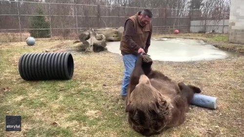 'Now the Belly' - Bears Enjoys Brush Down at New York Wildlife Center