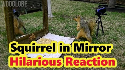 'Squirrel Jumps with Fear On Seeing its Reflection in the Mirror   Try Not to Laugh'