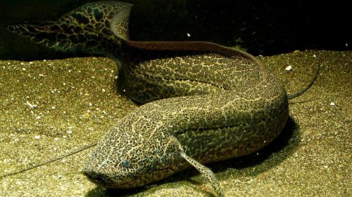 The African Lungfish Hibernates for Years on Land Without Water