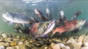 Salmon Have This 'Compass' in Their Skin to Migrate Earth's Magnetic Field