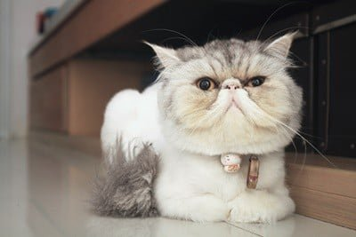 10 Flat Faced Cat Breeds You Won't Be Able to Resist
