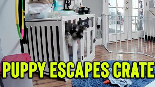 'Smart Miniature Schnauzer escapes his crate and playpen'