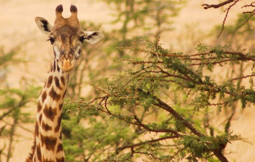 27 Interesting Facts about Giraffes You Might Not Know