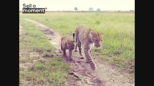Female leopard walks with cub