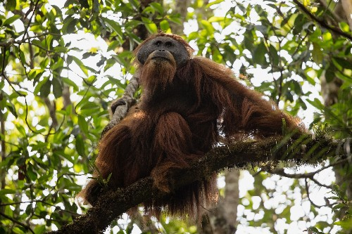 New Species of Orangutan Is Rarest Ape on Earth