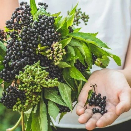 When You Take Elderberry Every Day, This Is What Happens To You