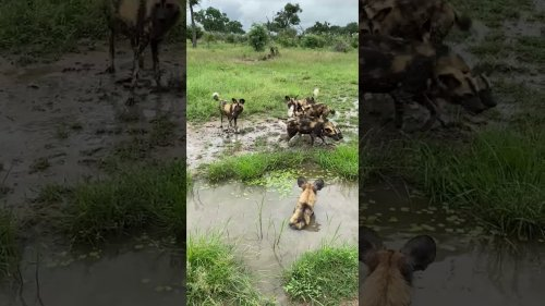 Happy Wild Dogs Play In Mud Puddle