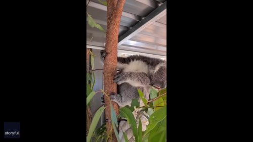 Working on His 'Koala-ifications': Cute Koala Joey Learns to Eat Leaves at Rescue Centre