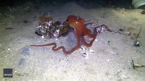 Underwater Photographer Captures Octopus Disappearing Beneath Sand