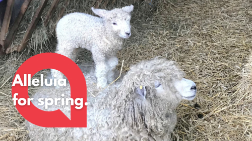 A rare breed of lamb is captured on video leaping onto his exhausted mother's back (RAW)