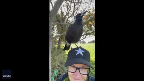 'Average Sunday' in Australia, as Singing Magpie Sits on Woman's Head