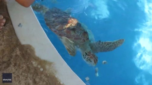Rescued Sea Turtles Can't Contain Excitement During Feeding Time