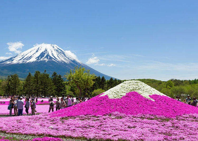 In Japan, The Floor Comes Alive in Pink Each Spring