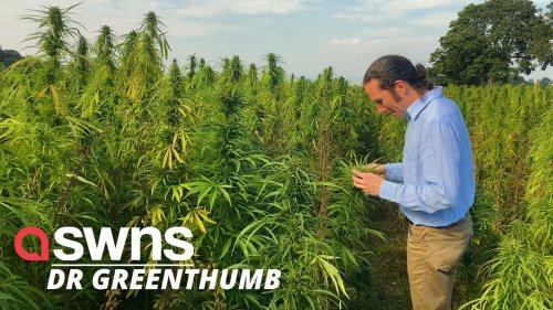"""UK farmers praise hemp as """"wonder crop"""" due to boost it gives to other crop yields"""