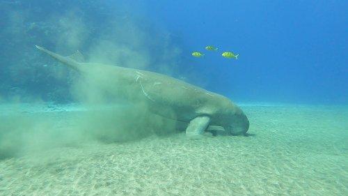 Ship engine scares sleeping dugong
