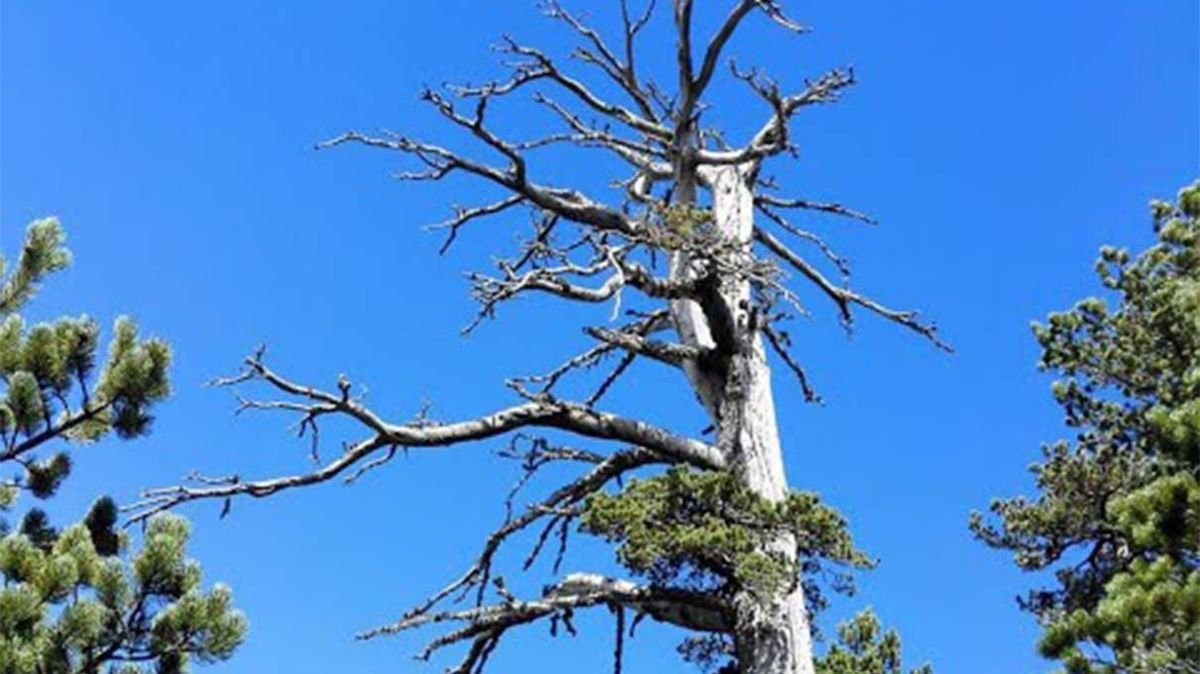 Europe's Oldest Tree Is Still Growing — Plus 4 Other Tremendous Trees