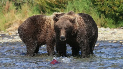 Grizzly Bears Fish for Salmon