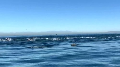 Thousands of dolphins 'stampede' off southern California coast
