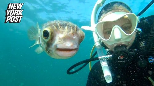 Puffer fish snaps a selfie with lucky diver