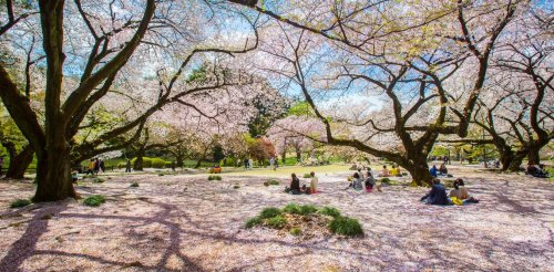 What Cherry Blossoms Can Teach Us About Climate Change